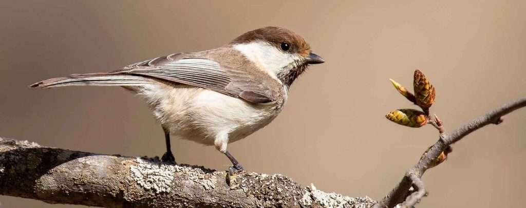 Caspian Tit - Best Bird Watching Season