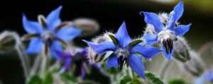 Borage Benefits and Side Effects